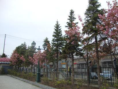 小樽運河の桜