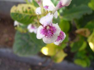 173296_flower_of_brazil_1.jpg
