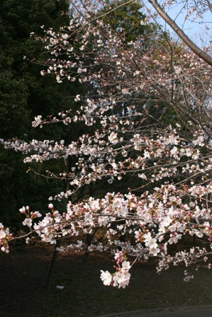 桜SAKU
