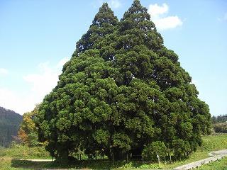 鮭川村トトロの木(小杉の大杉) 006