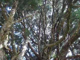 鮭川村トトロの木(小杉の大杉) 004
