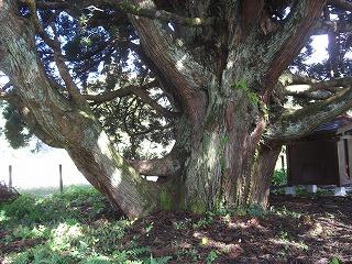 鮭川村トトロの木(小杉の大杉) 005