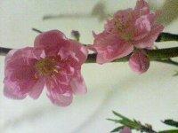 桃の花咲いた