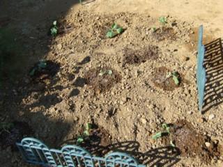 2009.08 ブロッコリー苗