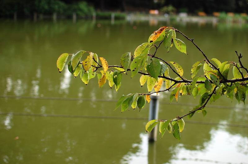 上池桜の木