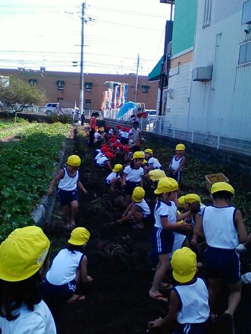 10月29日イモ掘り3