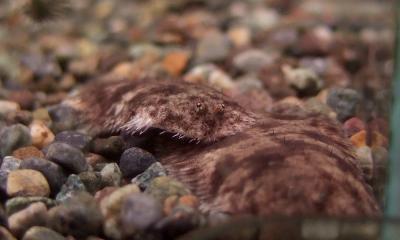 北米淡水カレイ