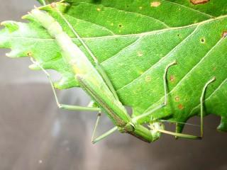 ミズナラの葉を食べるシラキトビナナフシ