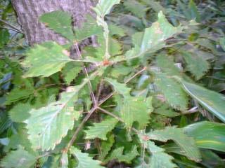シラキトビナナフシの食痕(ミズナラの葉)