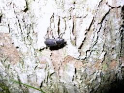 ミズナラの木につくスジクワガタ