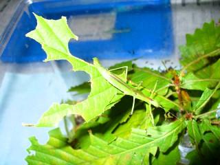 食べつくされたミズナラの葉