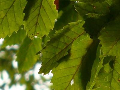 コナラ樹上のシラキトビナナフシ2