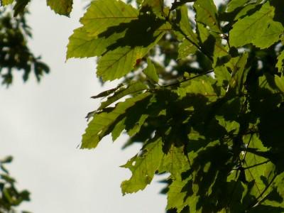 コナラ樹上のシラキトビナナフシ3