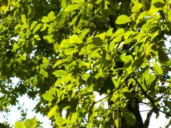 コナラの樹上にいるシラキトビナナフシ