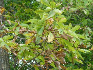 枯れてきているミズナラの葉
