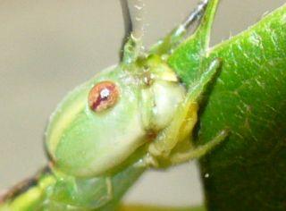 クリの葉を食べるシラキトビナナフシ