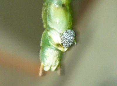 シラキトビナナフシの産卵3