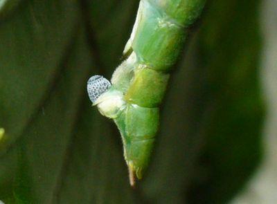 シラキトビナナフシの産卵5