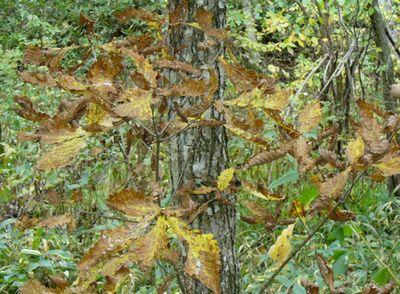 ミズナラの葉の紅葉(褐葉)