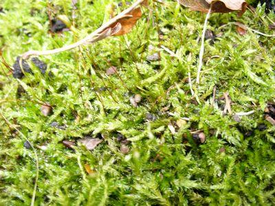 シラキトビナナフシの野外での卵1