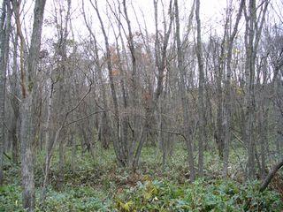 晩秋のミズナラの林