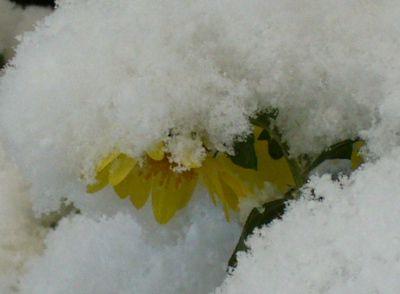 雪と菊の花