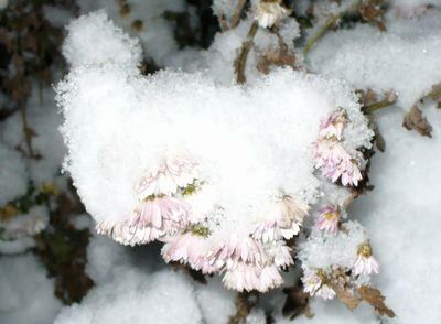 雪と菊の花2