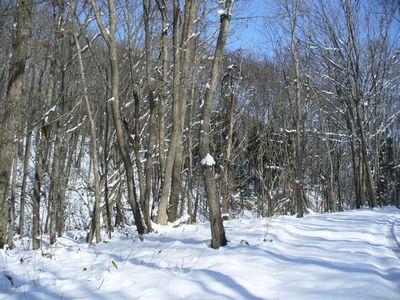 ミズナラの林の積雪