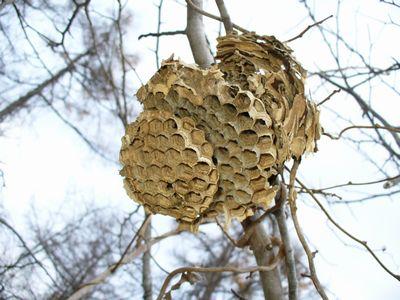 スズメバチの巣の上部