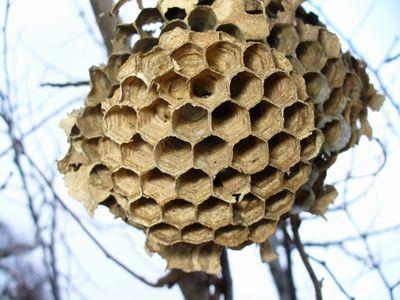 スズメバチの巣のアップ1