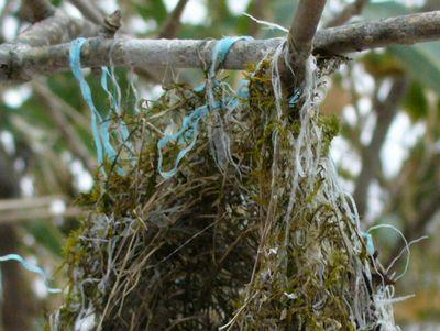 小鳥の巣跡の拡大
