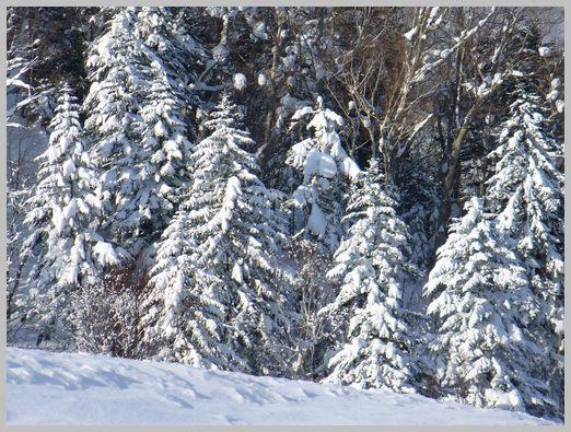 エゾマツの林