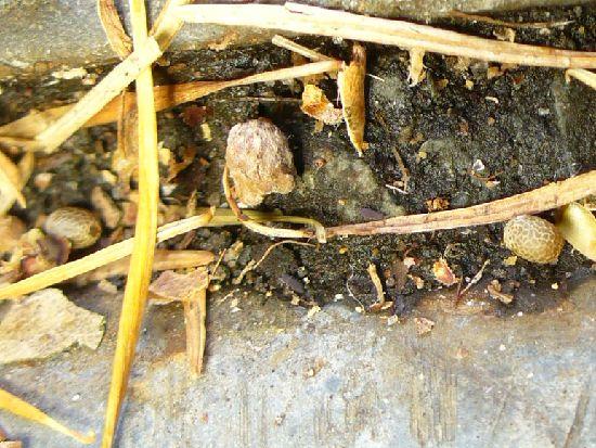 シラキトビナナフシの野外卵