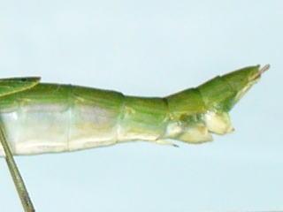 シラキトビナナフシの産卵口とトゲ