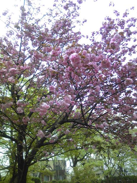 八重桜2-1