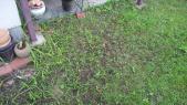 芝生の合間から雑草ちゃんが元気モリモリと…