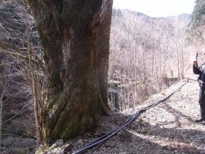 カツラの大樹 クリックで拡大