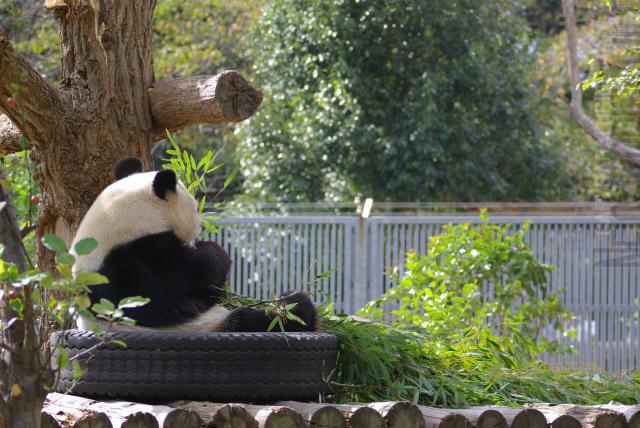 panda0910tan1.jpg