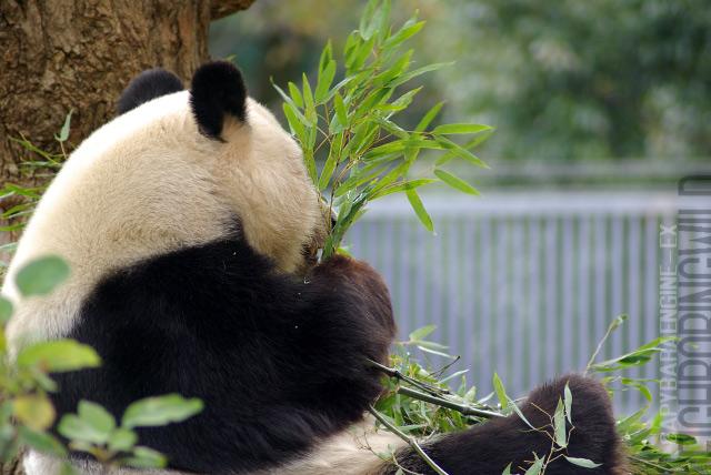 panda0910tan10.jpg