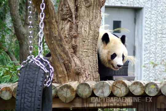 panda0910tan2.jpg