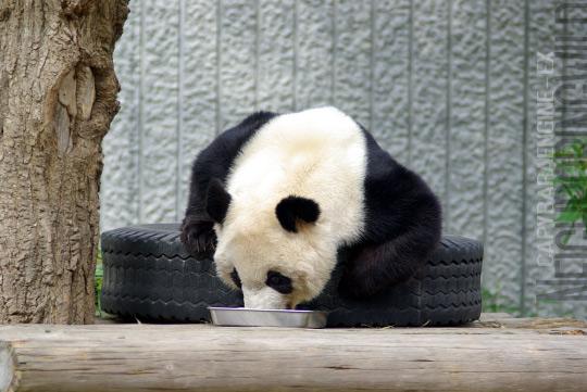 panda0910tan3.jpg