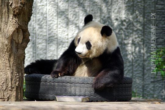 panda0910tan4.jpg