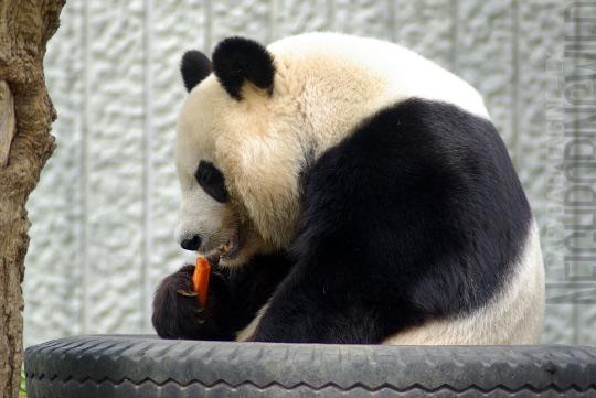 panda0910tan5.jpg