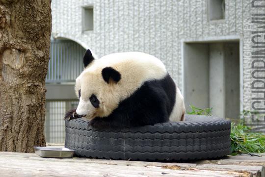 panda0910tan6.jpg