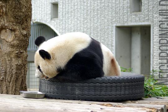 panda0910tan7.jpg