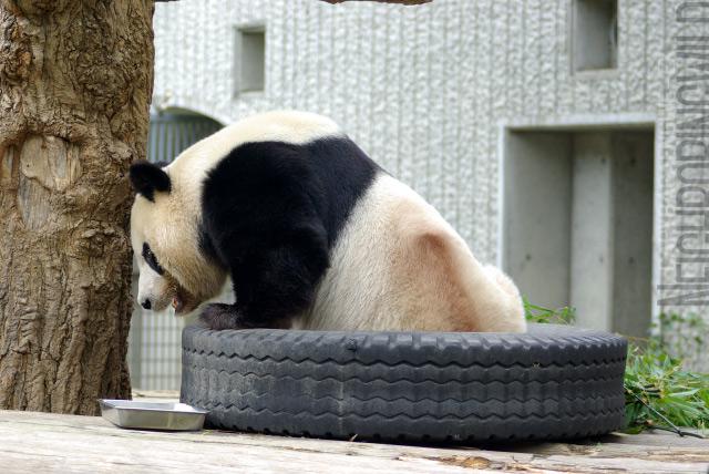 panda0910tan8.jpg
