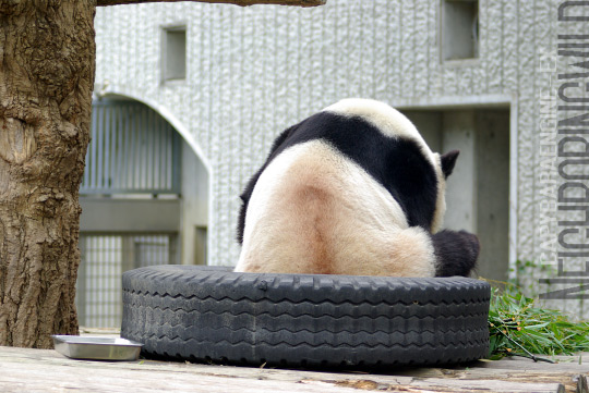 panda0910tan9.jpg