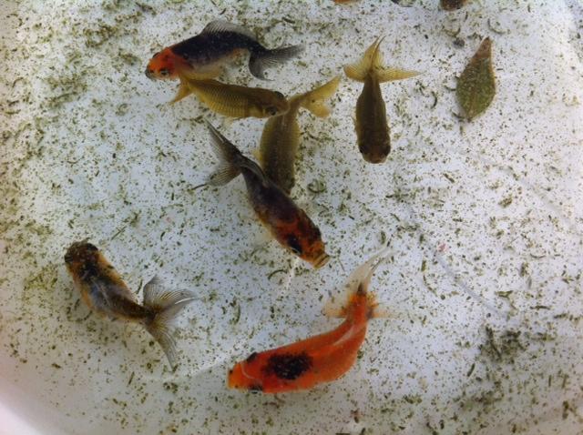 稚魚015