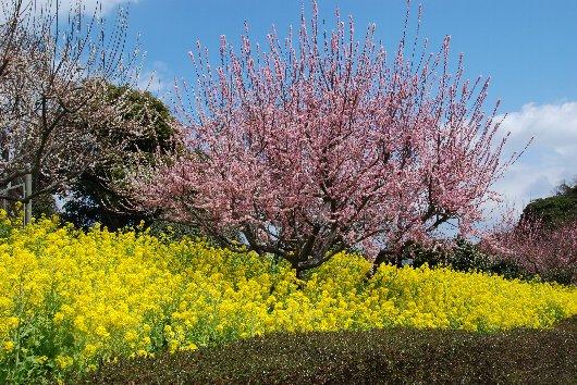 2012・04・01菜の花2