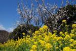 2012・04・01菜の花3